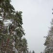 Winter fir forest — Stock Photo #18205001