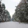 Winter fir forest - Stock Photo