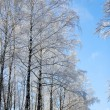 Trees in winter forest — Stock Photo