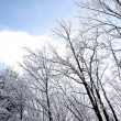 Winter Forest — Stock Photo #20133091