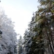 Winter Forest — Stock Photo #20133229