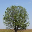 Tree in nature — Stock Photo #22218213