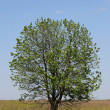 Tree in nature — Stock Photo