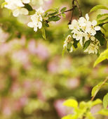 Tree beautiful white flowers buds — Stock Photo