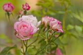 Pink rose flowers branch — Stock Photo