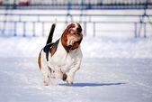 Funny dog basset hound — Stock Photo