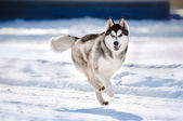 Cute dog hasky running in winter — Stock Photo