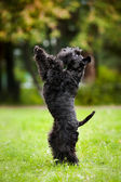 Cute dog standing on his hind legs — Stock Photo