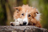 Sad red border collie — Stock Photo