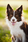 Happy brown dog border collie — 图库照片