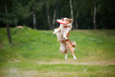 Frisbee red dog catching — Stock Photo