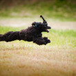 Cute black poodle dog running - Stock Photo