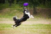 Chien frisbee — Photo