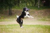 Frisbee dog catching disc — Stock Photo