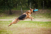 Frisbee sheepdog catching disc — Stock Photo