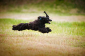 Cute black poodle dog running — Stock Photo