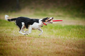 Frisbee dog border collie catching — Stock Photo