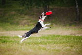 Frisbee perro border collie captura — Foto de Stock