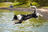 Dog border collie jumps into the water — Stock Photo