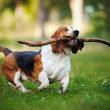 Stock Photo: Funny dog Basset hound running with stick