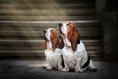 Two Basset hound sitting and looks up at light — Stock Photo