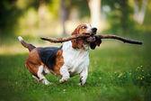 смешная собака бассет-хаунд работает с палкой — Стоковое фото