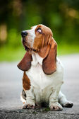 Basset hound looks up — Stock Photo