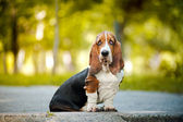 Basset hound sitting — Stock Photo