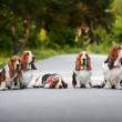 Group of dogs basset hound — Stock Photo