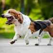 Funny dog Basset hound running — Stock Photo