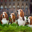 Group of dogs basset hound sitting on the grass — Stock Photo #13261156