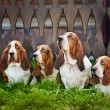 Group of dogs basset hound sitting on the grass — Stock Photo