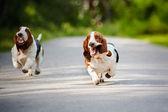 面白い犬バセットハウンドを実行しています。 — ストック写真