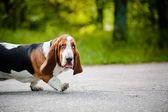 Cute dog Basset hound walking on the road — Stock Photo