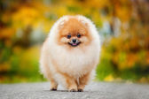 Young puppy Spitz in autumn — Stock Photo