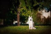 Dog husky sits on the grass — Stock Photo
