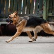Shepherd runs trot on a leash — Stock Photo