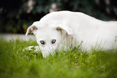 White dog lying on the grass — Stock Photo