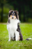 Young little puppy collie — Stock Photo