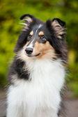 Mladí malé štěně kolie — Stock fotografie