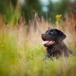 Brown labrador lying — Stock Photo #13741892
