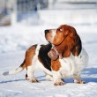 Stock Photo: Cute Basset Hound in winter