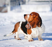 Cute Basset Hound in winter — Stock Photo