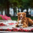 Stock Photo: Golden retriever Toller dog lies in the colors