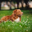 Golden retriever Toller dog rests — Stock Photo