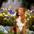 Happy golden retriever Toller dog in the colors — Stock Photo