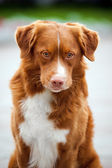 Golden retriever Toller dog looks into the camera — Stock Photo