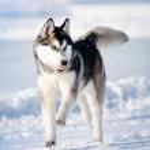 Dog hasky running in winter — Stock Photo #14168871