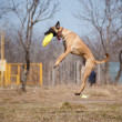 Malinois Shepherd catching disc in jump — Stock Photo