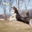 Blue Border Collie catching disc in jump — Stock Photo #14687829